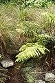 Blechnum novae-zelandiae kz1.jpg