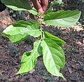 Blepharistemma serratum leaves and flowers at Thattekkadu (1).jpg