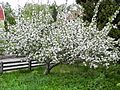 Blossoming Belle de Boskoop apple tree.JPG