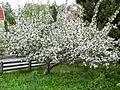 Blossoming Belle de Boskoop apple tree.JPG