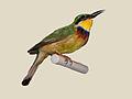 Blue-breasted Bee-eater RWD4.jpg