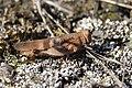 Blue-winged Grasshopper - Oedipoda caerulescens (21027914752).jpg