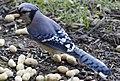 Blue Jay w-Peanut - Flickr - wjklos.jpg