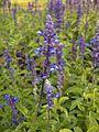 Blue Salvia-KayEss-1.JPG