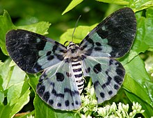 Blue Tiger Moth (False Tiger Moth) Dysphania percota. (6334518966).jpg
