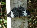 Blue cracker. hamadryas amphinome - Flickr - gailhampshire.jpg