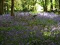 Bluebell woods near East Ashling - geograph.org.uk - 416945.jpg