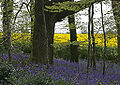 Bluebells & Oil seed rape field.jpg