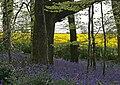 Bluebells & Oil seed rape field.jpg