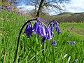 Bluebells (Hyacinthoides non-scripta) - geograph.org.uk - 1284822.jpg