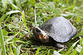 Bog turtle (18553929088).jpg