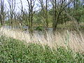 Bomen staande in water in de Biesbos.JPG