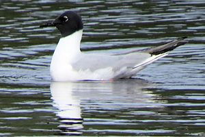 Bonaparte's gull - Adult breeding