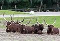 Bos primigenius f. taurus - Serengeti-Park Hodenhagen 2017 01.jpg