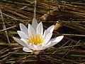 Botswanian Water Lily.JPG