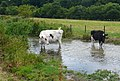 Bovine Skinny Dipping in the Sydling Water - geograph.org.uk - 896013.jpg
