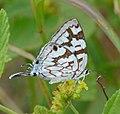 Bowker's Marbled Sapphire Stugeta bowkeri (8392955226), crop.jpg
