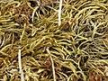 Brachythecium albicans 77428536.jpg