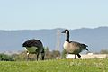 Branta canadensis -Shoreline Park, Mountain View, California, USA-8b.jpg