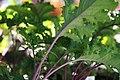 Brassica oleracea var. acephala Redbor 1zz.jpg