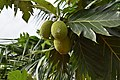 Breadfruit 5.jpg