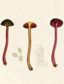 Bresadola - Cortinarius sanguineus.png