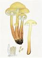 Bresadola - Flammula flavida.png