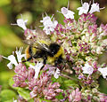 Broken-belted Bumble-bee male - Bombus soroeensis.jpg
