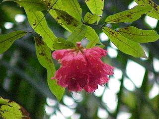 <i>Brownea</i> genus of plants