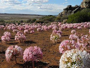 Tumbleweed - Brunsvigia bosmaniae in flower in the veld, showing the globular umbels of tumbleweed Amaryllidaceae