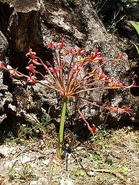 Brunsvigia josephinae (Villa Hanbuy, Italy)