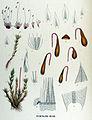 Bryum pallens — Flora Batava — Volume v17.jpg