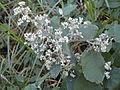 Buddleja dysophylla, bloeipluim, Louwsburg.jpg