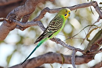 Budgerigar - Blue cere indicates male