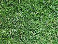 Buffalo grass texture.jpg