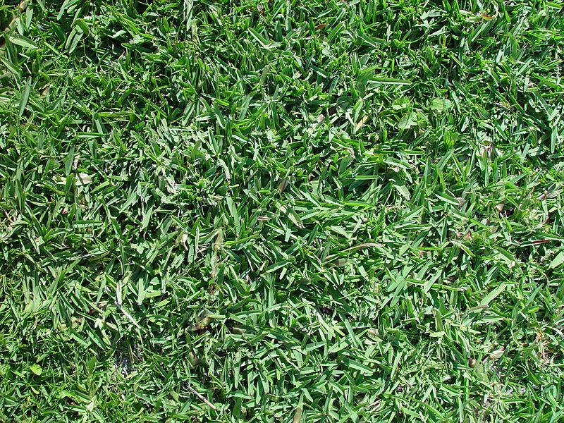 File Buffalo Grass Texture Jpg Wikimedia Commons