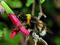 Bumblebee October 2007-3a.jpg