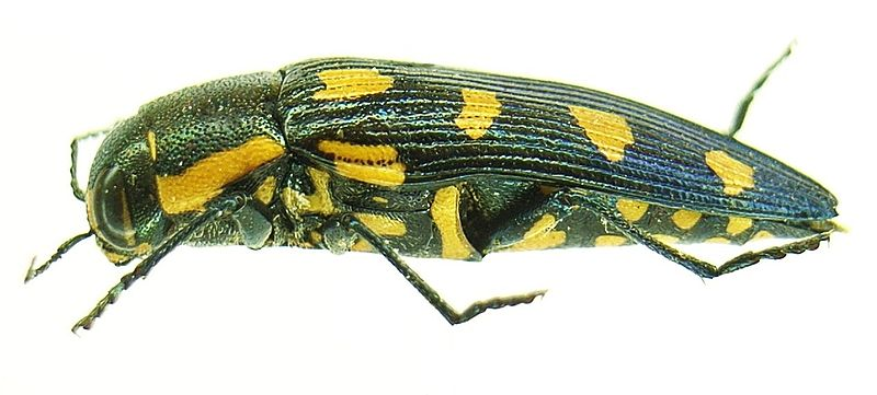 Buprestis octoguttata side.JPG