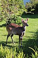 Bushbuck (Tragelaphus sylvaticus) (36560254184).jpg