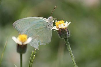 Butterfly consuming nectar.jpg