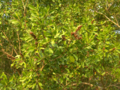 Buttonwood-leaves (5601432420).png