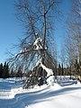 Bykovka. Winter Forest. Быковка. Зимний лес - panoramio.jpg