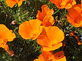 CA Wild Poppies 2010 B.JPG