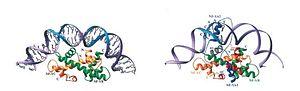 CAAT box - Image: CCAAT DNA4