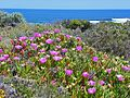 CSIRO ScienceImage 11318 Coastal flora on Rottnest Island Western Australia.jpg