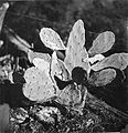 CSIRO ScienceImage 1889 The Introduced Prickly Pears.jpg