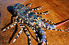 CSIRO ScienceImage 2518 Ornate Lobster.jpg