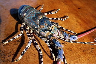 <i>Panulirus ornatus</i> species of crustacean