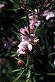 CSIRO ScienceImage 2579 The Pink wax flower Eriostemon australasius West Head NSW.jpg