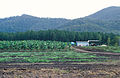 CSIRO ScienceImage 4364 Rural scene in far north Queensland Melon crop in foreground banana plantation behind with pine forest and rainforest in the background 15 Kms north of Cardwell QLD.jpg